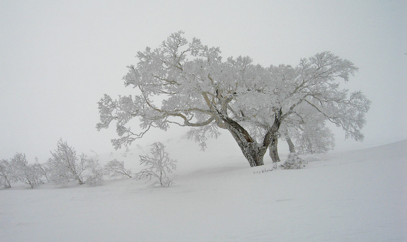A tree covered in white goodness at the top of Tomamu ski hill,  Hokkaido.