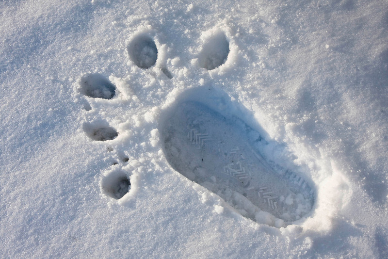 polar bear cleat print