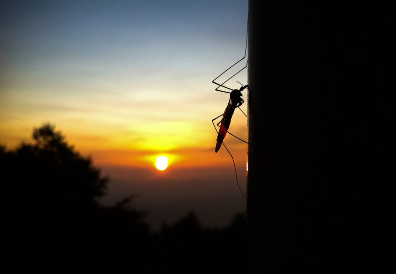 A large mosquito getting an early start on the day as the sun rises<br /> <br /> All I had on me at the time was my iphone, yet I'm pretty content/impressed with the results of this little camera.