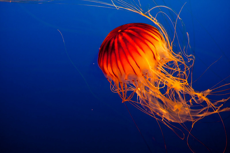 I think this is called a Pacific Sea Nettle Jellyfish...