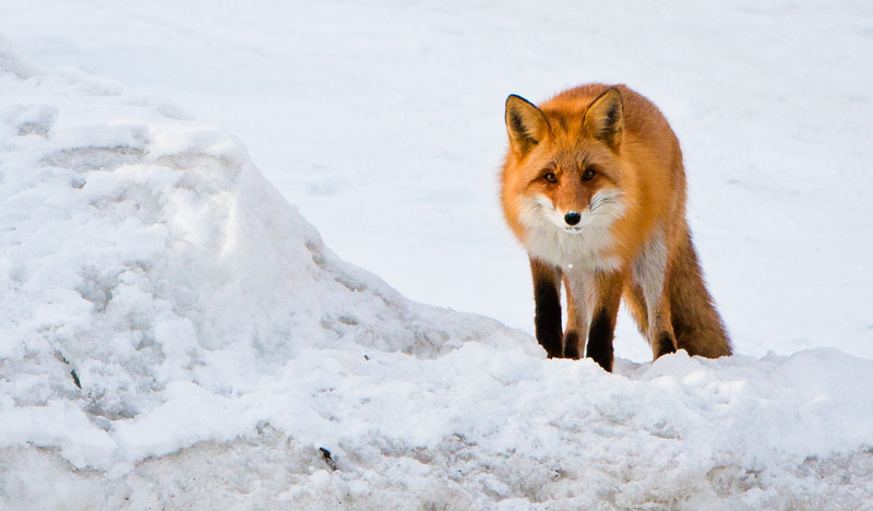 A little red fox Was just walking home from the train station today, and happened to have my camera on me, when I saw this little red fox digging in the snow across the street. There are quite a few of these in Hokkaido, but I've never seen them during the day and never in town. Usually I see them from my car running off the road at night.  (Here's the runner-up: http://joeygoertz.smugmug.com/Animals/Cats-Dogs-and-More/6327000_aqf3R#1185996742_U8QKx-A-LB)