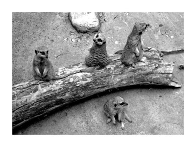 2006-08-07   Meerkats at Lincoln Park Zoo  I think these guys are just the cutest things.  They take turns looking out for predators while the others eat and sleep.  But at the zoo I they are out of their element and here, they were all looking out.