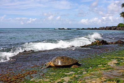 2007-09-14   This little sea turtle just came out to eat some algae but all these people were trying to pose for pictures with him and he wasn't having any of it.  North Shore, O'ahu