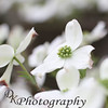"03-08-2012<br /> ""Dogwood""<br /> <br /> A sure sign of spring is the blooms on a dogwood tree. The one in my front yard is full of beautiful blooms. I do love spring and the flowers it brings. <br /> Donna"