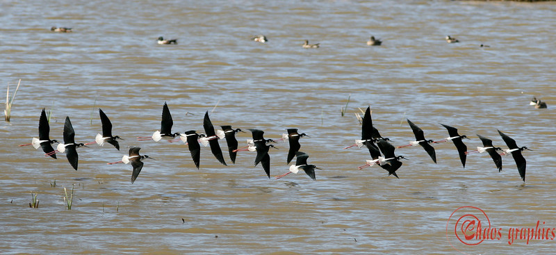 Skimming . . . are these skimmers?<br /> <br /> (Feb. 20) No shots today. Instead another shot from the San Jacinto Wildlife Refuge.