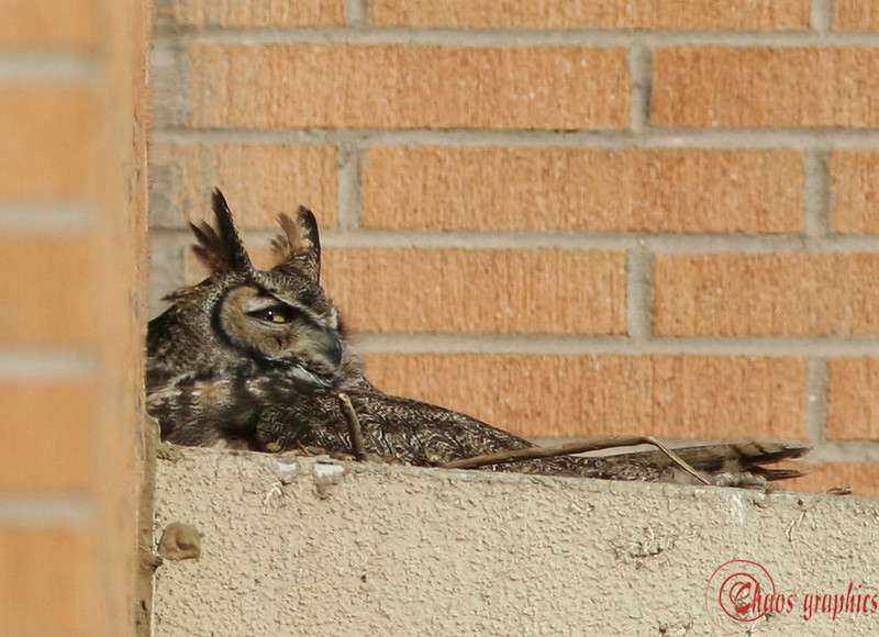 "Eye contact<br /> <br /> (Feb. 26) The photography gods were kinder today. This owl has set up her nest on the 3rd story window ledge of the plant pathology building for the second year in a row. Her mate is closeby:<br />  <a href=""http://chaosgraphics.smugmug.com/gallery/1841037#132442203"">http://chaosgraphics.smugmug.com/gallery/1841037#132442203</a>"