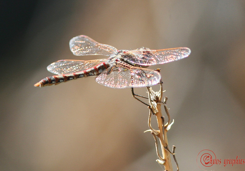 Shimmer<br /> <br /> (Feb. 16) I was at the UCR Botanic Garden again today. It was quite warm and a lot of spring beasties were out and about. I love dragonflies but can seldom catch them. This one stopped on top of a stem for just enough time for me to catch the wing shimmer. <br /> <br /> Nothing for yesterday. I took no shots.