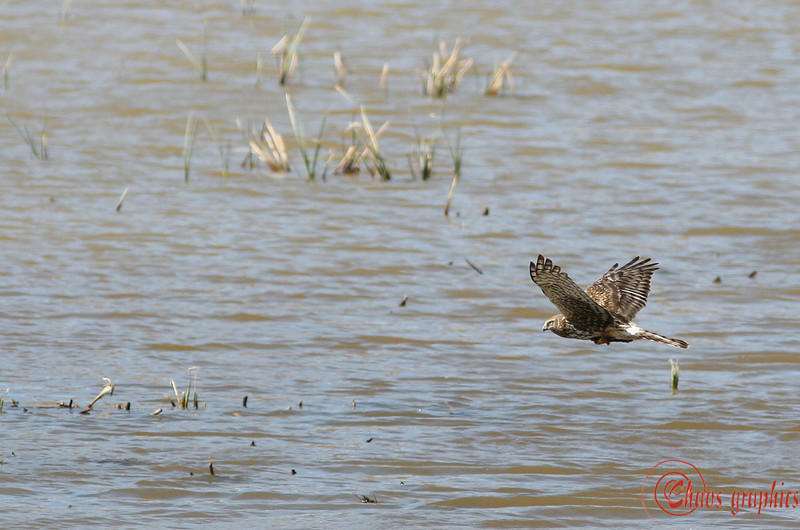 "Is this a marsh hawk? It was a marsh and it was hawking.<br /> <br /> (Feb. 17) Went out to the San Jacinto Wildlife Area today, which is a series of man-made marshes. It is surrounded by hunting areas and the birds are a little skittish. I blew a bunch of shots -- for bif with a lens like the 300 prime, do I turn off the autofocus? I turned off the IS, since that was making the focus way too slow. I took some on autofocus (this was one) and some off, which, when I got it, were sharper. What ups my chances of getting the sharper shot? Practice with manual focus or better foresight and preparation with the autofocus?<br /> <br /> Oh, for Thusie, an ""almost"" good tv shot:<br />  <a href=""http://chaosgraphics.smugmug.com/gallery/1841037#130304612"">http://chaosgraphics.smugmug.com/gallery/1841037#130304612</a>"