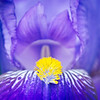 April 26, 2012<br /> Iris