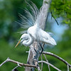 White Egret in breeding plumage -  Shangri La Botanical Gardens and Nature Center, Orange, Texas