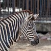 Z is for Zebra!