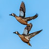 Blue-winged Teal at Cattail Marsh, Beaumont, Texas