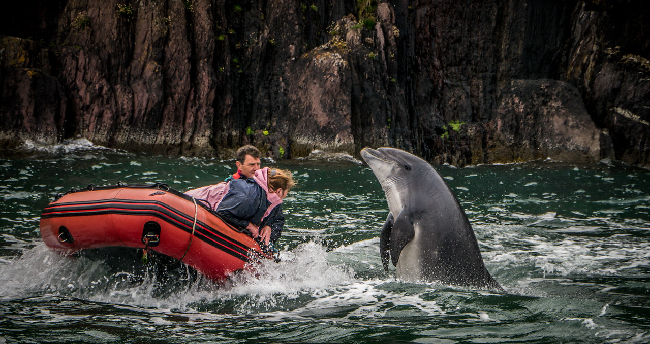 June 25th 2013 - Fungi the dolphin playing around with is friends.. The two people in the boat are actually from Holland and moved to Ireland because of Fungi .. They go out nearly every day of the year to be with him
