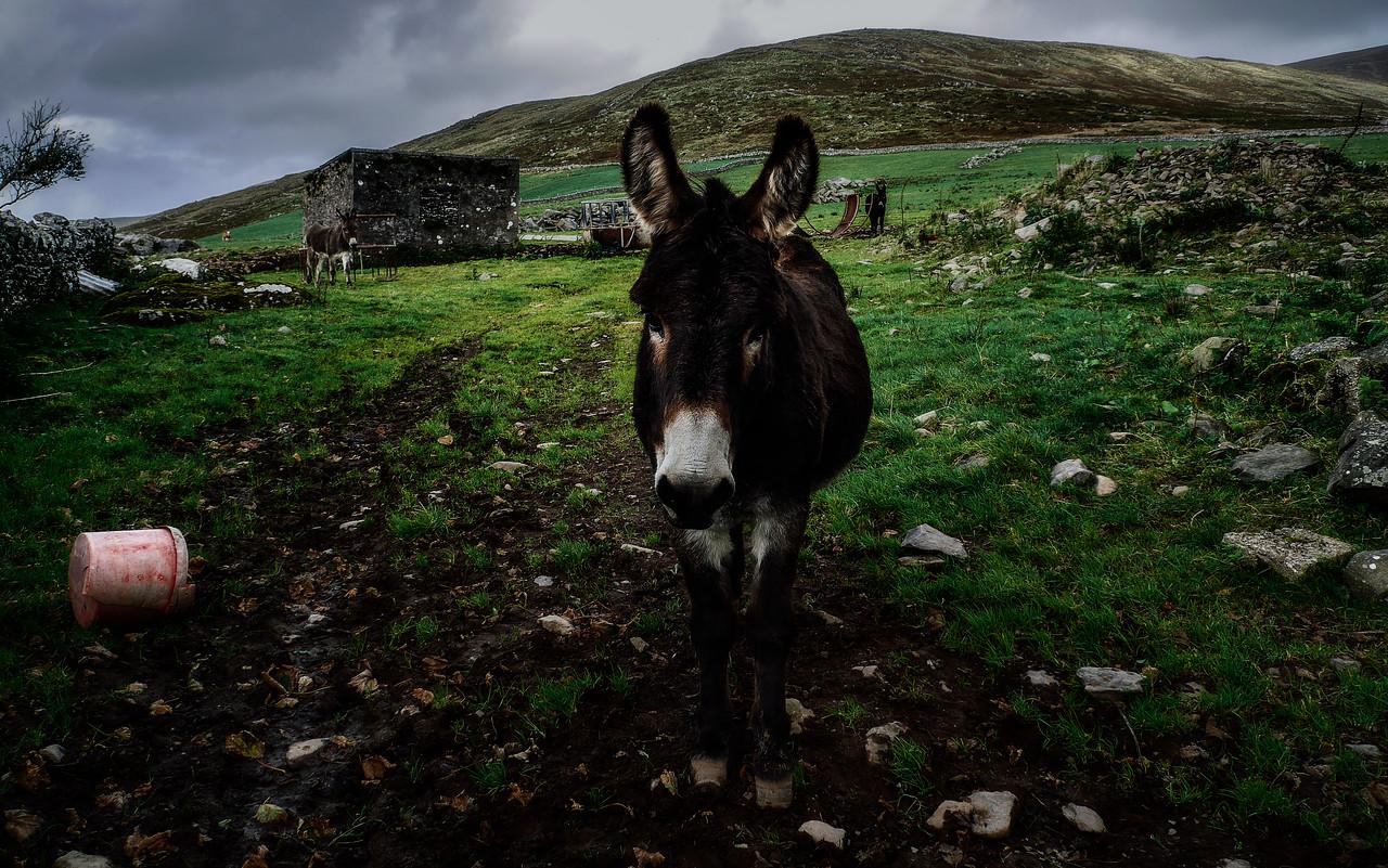 A Dingle Peninsula Donkey Family