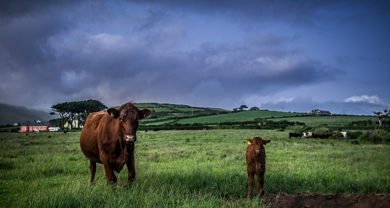 July 5th 2013 A proud mother and her offspring in the Dingle Countryside