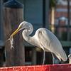 White Egret at 21st Pier