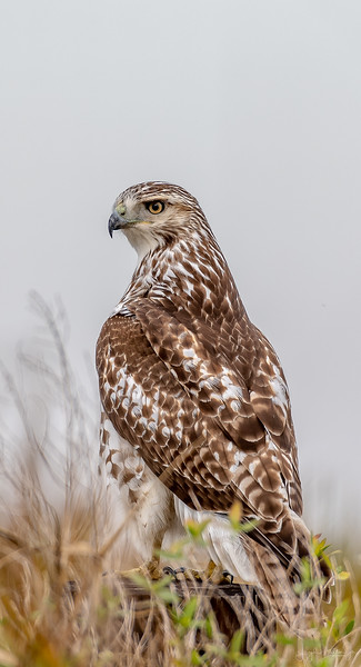 Krider's Red-tailed Hawk - Anahuac National Wildlife Refuge