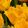 Saturday, April 17, 2010<br /> <br /> Another photo I took yesterday at the Tulip Festival. I was amazed by the way these looked, and how their colors were so vibrant.