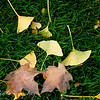 November 12, 2009<br /> <br /> Another Fall leaves shot as we wrap up the season and start getting ready for Winter. Gabe took this shot and I like the water dropplets on the center leaf.