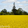Friday, May 8, 2009.<br /> <br /> I went for a drive to Monmouth, Oregon today to take some pictures at Western Oregon Univerty for my photo shoot tomorrow and I saw this awesome field on the way (and I had to stop and take some pictures). This field was amazing.. the yellow is so bright and I could see it from very far away. I took more pictures, and I will post them on another gallery soon and attach the link here.