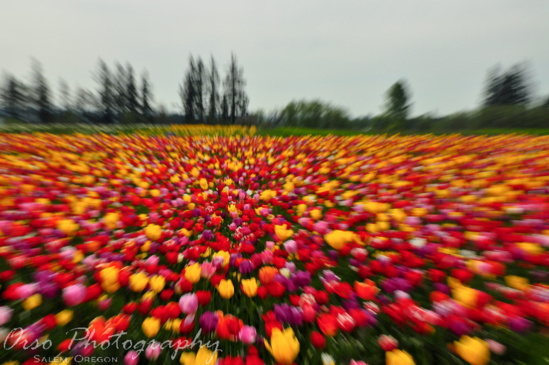 Sunday, April 18, 2010<br /> <br /> This is our last photo from the Tulip Festival that I wanted to add as a Daily Photo. Gabe took this one while zooming out, which created this effect that I am sure will make some people dizzy. The Tulip Field was huge and this photo captures its size a little bit.