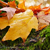 November 7, 2010<br /> <br /> I took this photo while doing a Senior Photo Shoot in Monmouth, Oregon. I liked the way the leaf was laying on the tree... Signs of Fall..
