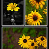 August 7, 2009.<br /> <br /> These were taken by Gabe and I, from the same backyard as yesterday's photo. We have had a heat wave here in Salem for the past week, and a lot of the flowers and grass have died or became really brown and faded... however, these flowers seemed to have survived, with only a little bit of evidence left from the heat.
