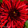 "November 7 2009<br /> <br /> Gabe here, our neighbors have absolutely beautiful red and yellow flowers.  Even this late in the year (which is absolutely amazing). This flower had ""photograph me"" written all over it! So this is the image that came from it!"