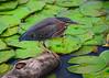 071815<br /> Green Heron<br /> Kenilworth Aquatic Garden<br /> Washington, DC