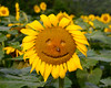 071215<br /> Happy Sunflower<br /> McKee Beshers WMA<br /> Poolesville, MD
