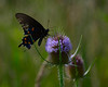 "071215<br /> Black Swallowtail Butterfly on ""Thistle""<br /> McKee Beshers WMA<br /> Poolesville, MD"