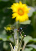 071215<br /> Dragonfly in Sunflowers<br /> McKee Beshers WMA<br /> Poolesville, MD