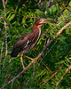 071915<br /> Green Heron<br /> Kenilworth Water Garden<br /> Washington, DC