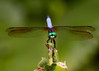 071215<br /> Dragonfly<br /> McKee Beshers WMA<br /> Poolesville, MD