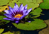 081615<br /> Frog and Water Lily<br /> Kenilworth Aquatic Gardens<br /> Washington, DC