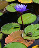 080115<br /> Frog and Water Lily<br /> Kenilworth Water Garden<br /> Washington DC