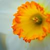 inside a daffodil