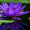 water lily, profile in purple, #37