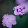 "delicate beauty in purple <p> This image is available for purchase on my <a href=""http://www.redbubble.com/people/gerrydaniel/art/6541375-1-delicate-beauty-in-purple"">RedBubble site</a>.  It would be a beautiful print and would also be a pretty greeting card.  Why choose, buy a print and greeting cards."