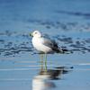 Reflective Gull