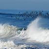 Surf Bird