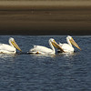 Rare White Pelicans, taking a rest.