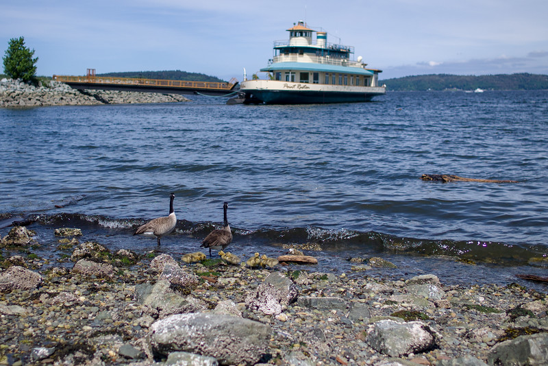 2016-05-05-Waterfront-Geese