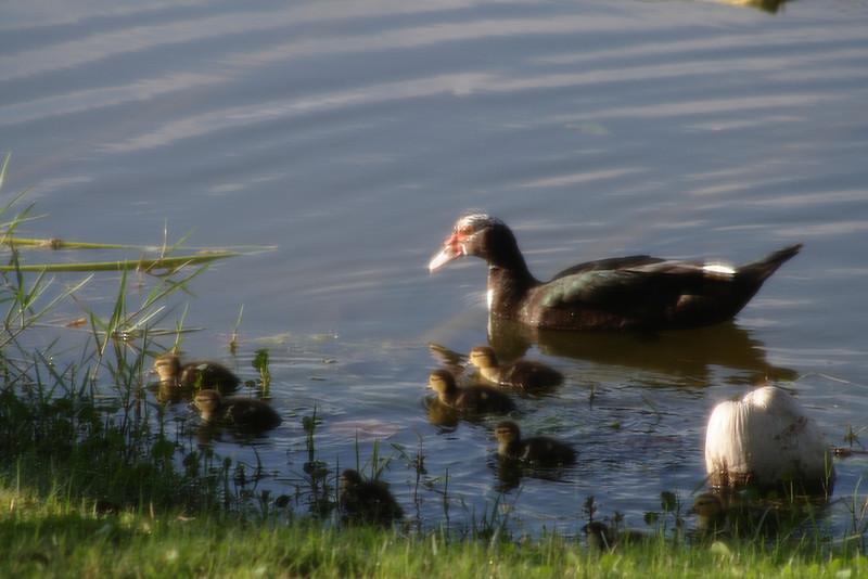 Feb. 7: Ducklings!
