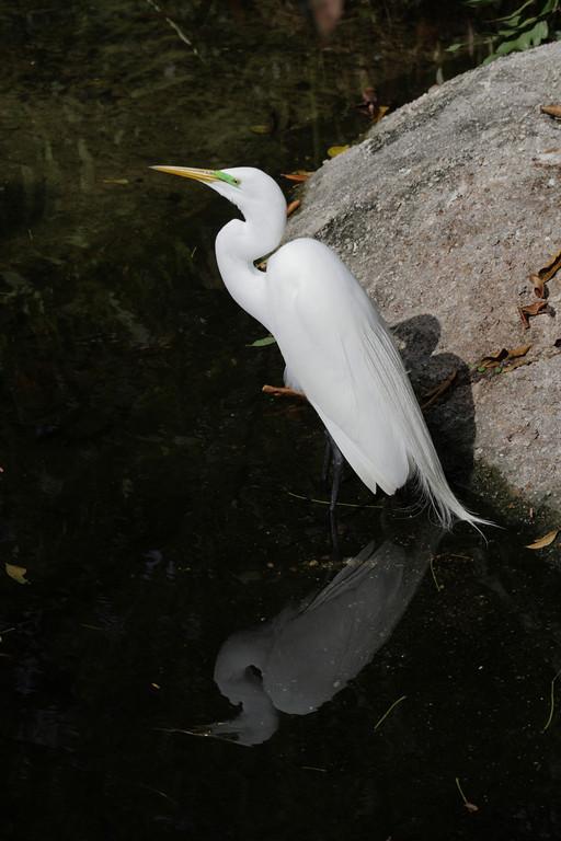 Jan. 21: Egret at Jungle Island