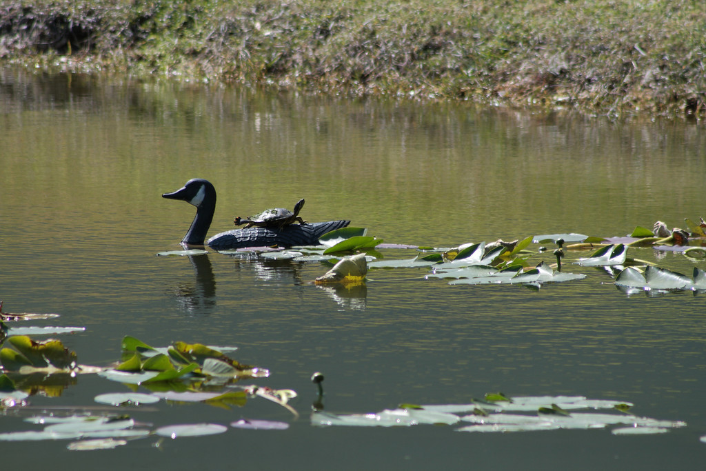 Feb. 18: Turtle on a Goose