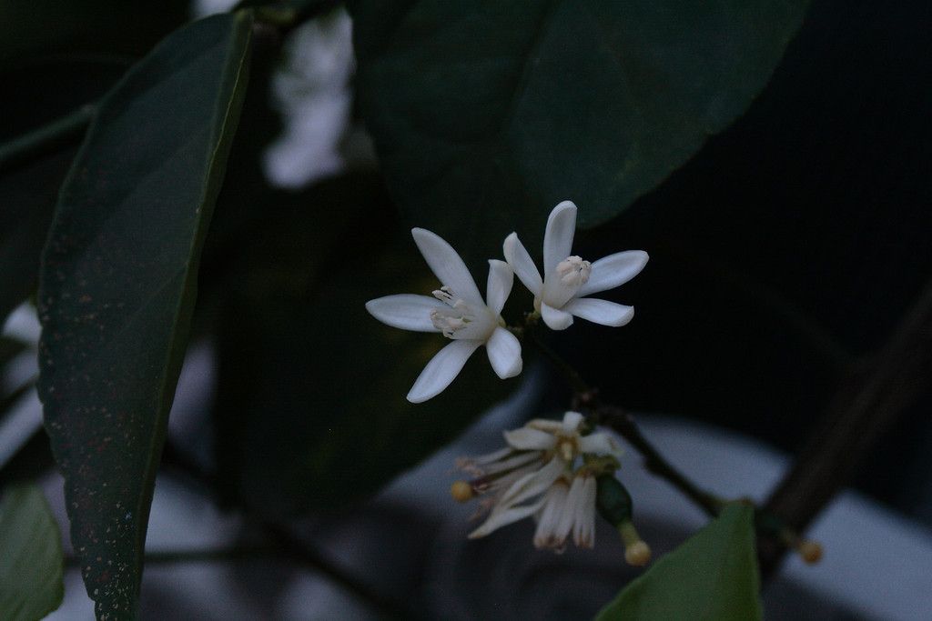 Mar. 8, 2010: Lime Blossoms.