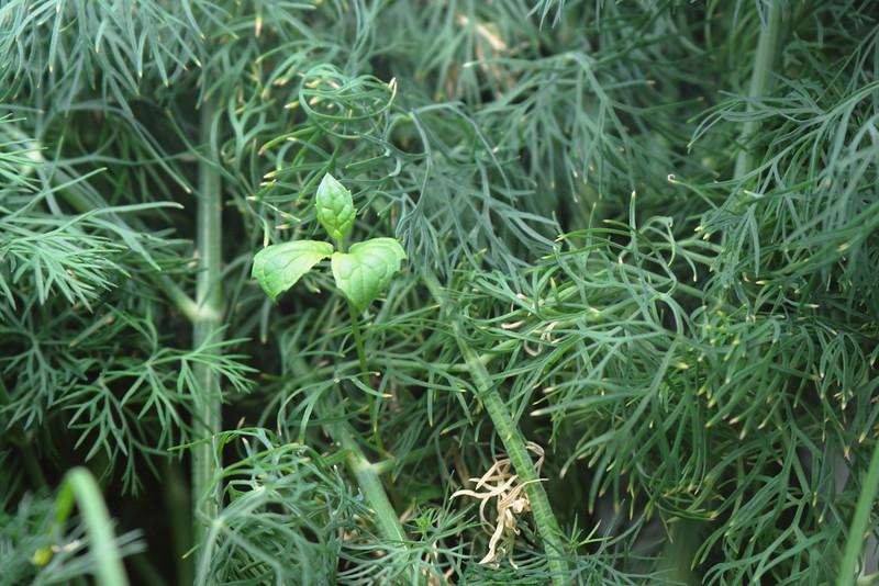 Mar. 5, 2010: Indoor Herbs.