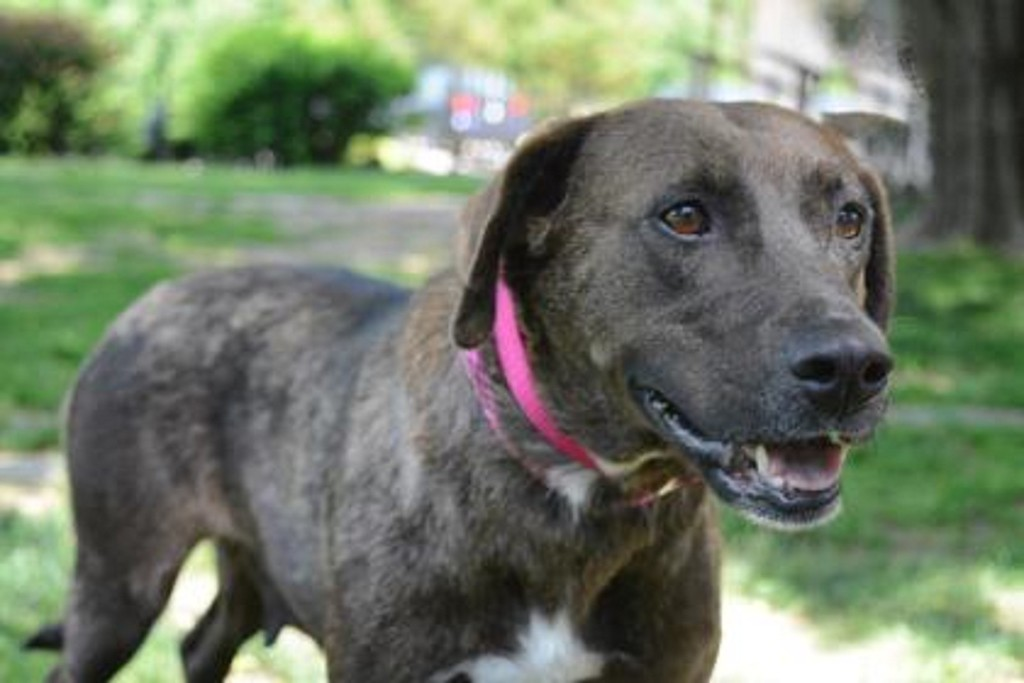 . Providence Animal Center Pet of the Week: Blossom  Retriever Blend; Medium Young Adult Female Dog Pet ID: 31741156 Blossom is a calm and sweet young lady looking for her forever home at Providence Animal Center in Media. She was transported to the Adoption Center via a rescue partner in North Carolina and now has the best chance around at finding her perfect match. Blossom is sweetly submissive when she meets new people, but will approach you slowly and give your hand a gentle kiss to say hello. When you stoop down to her level, she will relax even more and wag her tail evenly as she trots closer for some cuddles. Blossom would do well in a calmer home with children who are old enough to respect her temperament. Through June 30, her adoption fee is discounted by $25. She is spayed, vaccinated, micro-chipped and ready to meet her new forever family today. Stop by Providence Animal Center to meet Blossom and give her the chance at a forever life she deserves. Hours for adoption are Monday-Friday from Noon-7 p.m., Saturday from 11a.m.-6 p.m., and Sunday from Noon-5 p.m. Join Providence Animal Center June 23 from 6-9 p.m. for the annual �Putt for Pets� at Putt-Putt Fun Center at 5300 W. Baltimore Ave in Clifton Heights. Purchase tickets for $9 in advance at the Adoption Center at 555 Sandy Bank Road in Media, or for $10 at the door. Each ticket includes 2 games of mini golf, 1 hot dog and 1 soft drink.