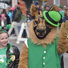 PETE  BANNAN-DIGITAL FIRST MEDIA      It must be  an Irish Setter at Springfield's St. Patrick Day Saturday.